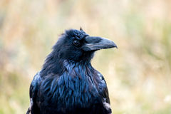 Raven Royalty Free Stock Image