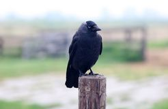 Raven los pájaros negros del cuervo en un día frío en los Países Bajos, Europa Imagen de archivo libre de regalías