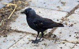Raven los pájaros negros del cuervo en un día frío en los Países Bajos, Europa Foto de archivo libre de regalías