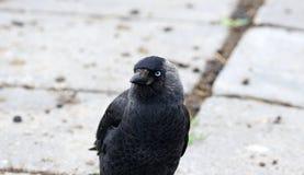 Raven los pájaros negros del cuervo en un día frío en los Países Bajos, Europa Fotos de archivo