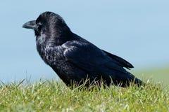 Raven marchant dans l'herbe Photographie stock