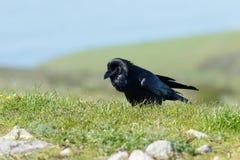 Raven marchant dans l'herbe Images stock