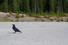 Raven marchant dans un parking Photographie stock