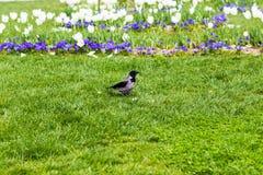 Raven marchant sur la pelouse Images libres de droits