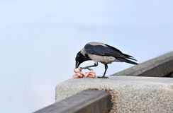 Raven with meat Royalty Free Stock Photos