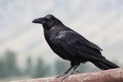 Raven in the Mountains royalty free stock image