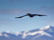 Raven in mountains. Susuman. The Magadan area, Kolyma Royalty Free Stock Photography