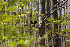 Raven nel giardino Fotografia Stock