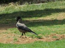 Raven nel parco che chiama il suo compagno Immagini Stock Libere da Diritti