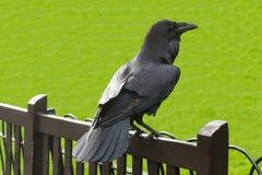 Raven nella torre di Londra, Regno Unito Immagine Stock Libera da Diritti
