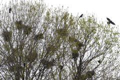 Raven nests in tree crochet with ravens. Fly Royalty Free Stock Photo