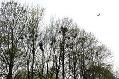 Raven nests in tree crochet with ravens. Fly Royalty Free Stock Image