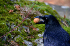 Raven with nut in the beak Stock Photos