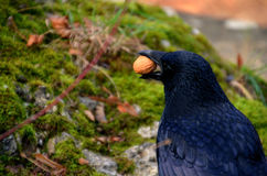 Raven with a nut Royalty Free Stock Images