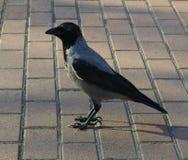 raven O rei - um corvo Velho um corvo inteligente fotos de stock royalty free