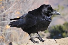 Raven is one of several larger-bodied species of the genus Corvus. A raven is one of several larger-bodied species of the genus Corvus. These species do not form royalty free stock photography