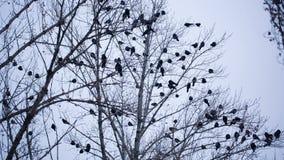 Raven op boom stock footage