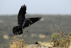 Raven with open wings Royalty Free Stock Image