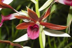 Raven Orchid de Rabin de los tancarvilleae de Phaius foto de archivo