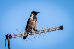 Raven ou corax de corvus se tenant sur la vieille antenne de TV image stock