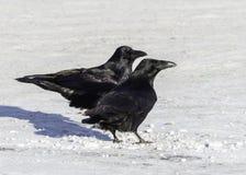 Raven Pair comune fotografie stock libere da diritti