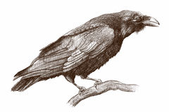 Raven. Pencil drawing on papper Royalty Free Stock Photo