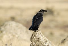 Raven perched Royalty Free Stock Photo