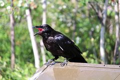 A raven perched on a catching flies with it mouth wide open.  Royalty Free Stock Photography