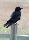 Raven. Perched on a fence post royalty free stock images
