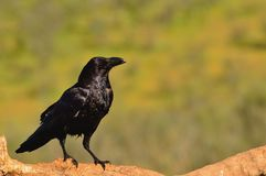 Raven perched on a log Stock Image