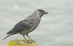 Raven perched on a post. Stock Photography