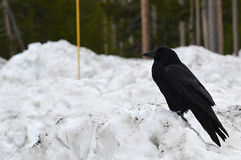 Raven perched on a snow bank Stock Image
