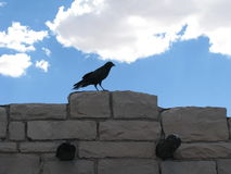 Raven perched on stone Royalty Free Stock Image