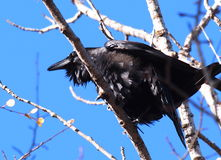 Raven Perched In Tree Stock Images
