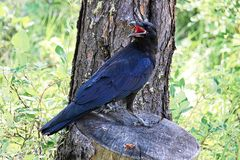A raven perched on a tree stump.  Royalty Free Stock Images