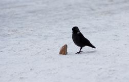 Raven with piece of bread on snow stock photos
