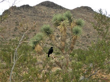 Raven Pondering His Life in Joshua Tree Fotografia Stock