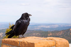 Raven at Ponderosa Point Stock Photo
