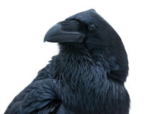 Raven portrait Stock Images