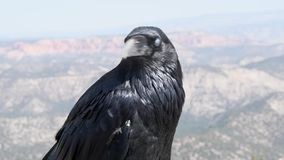Raven Portrait at Bryce Canyon stock video