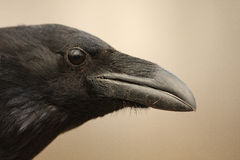 Raven portrait / Corvus corax royalty free stock photos