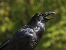 Raven. Portrait. Stock Images