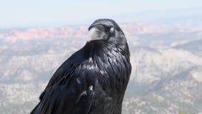 Raven Portrait em Bryce Canyon video estoque
