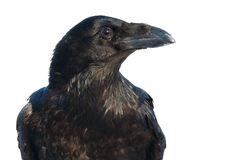 Raven portrait on white Stock Photography
