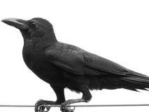 Raven pose. Royalty Free Stock Image