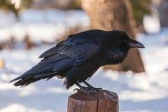Raven Posing i vinterplats Arkivbild