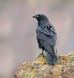 Raven posing on a rock Royalty Free Stock Photos