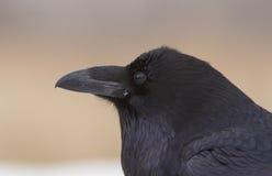 Raven profile Royalty Free Stock Photo