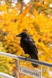 Raven on the railing Stock Image