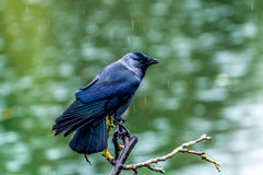 Raven on rain Stock Photo
